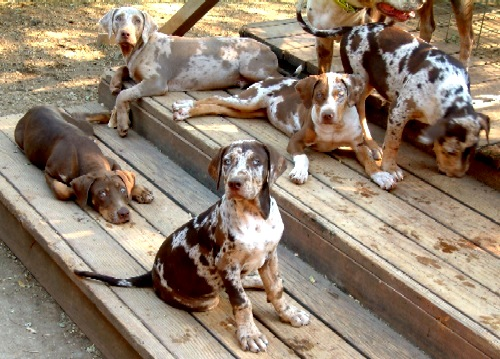 Central Texas Hog Dogs For Sale
